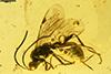 http://mczbase.mcz.harvard.edu/specimen_images/entomology/paleo/large/PALE-18502_Ichneumonidae.jpg
