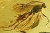 http://mczbase.mcz.harvard.edu/specimen_images/entomology/paleo/large/PALE-18503_Ichneumonidae.jpg