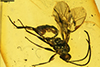 http://mczbase.mcz.harvard.edu/specimen_images/entomology/paleo/large/PALE-18505_Ichneumonidae.jpg