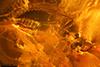 http://mczbase.mcz.harvard.edu/specimen_images/entomology/paleo/large/PALE-18511_Coleoptera_2.jpg