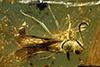 http://mczbase.mcz.harvard.edu/specimen_images/entomology/paleo/large/PALE-18516_Aculeata.jpg