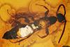 http://mczbase.mcz.harvard.edu/specimen_images/entomology/paleo/large/PALE-18522_Bethylidae.jpg