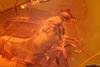 http://mczbase.mcz.harvard.edu/specimen_images/entomology/paleo/large/PALE-18523_syn2_Dolichopodidae.jpg