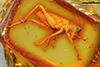 http://mczbase.mcz.harvard.edu/specimen_images/entomology/paleo/large/PALE-18524_Orthoptera_nymph.jpg