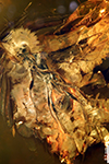 http://mczbase.mcz.harvard.edu/specimen_images/entomology/paleo/large/PALE-18525_Braconidae.jpg