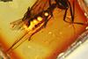 http://mczbase.mcz.harvard.edu/specimen_images/entomology/paleo/large/PALE-18529_Braconidae_2.jpg