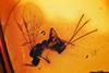 http://mczbase.mcz.harvard.edu/specimen_images/entomology/paleo/large/PALE-18530_Braconidae.jpg