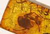http://mczbase.mcz.harvard.edu/specimen_images/entomology/paleo/large/PALE-18951_Iridomyrmex_samlandicus_cotype.jpg