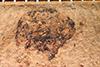 http://mczbase.mcz.harvard.edu/specimen_images/entomology/paleo/large/PALE-18_Trypanorhynchus_depratus_type_2.jpg