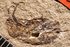 http://mczbase.mcz.harvard.edu/specimen_images/entomology/paleo/large/PALE-1905_Cleonus_exterraneus_type_1.jpg