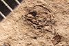 http://mczbase.mcz.harvard.edu/specimen_images/entomology/paleo/large/PALE-1943_Anthonomus_reventus_type.jpg