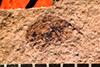 http://mczbase.mcz.harvard.edu/specimen_images/entomology/paleo/large/PALE-1947_Anthonomus_arctus_type_2.jpg