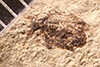 http://mczbase.mcz.harvard.edu/specimen_images/entomology/paleo/large/PALE-1952_Anthonomus_concussus_type.jpg