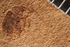 http://mczbase.mcz.harvard.edu/specimen_images/entomology/paleo/large/PALE-1978_Tychius_secretus_type_1.jpg