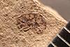 http://mczbase.mcz.harvard.edu/specimen_images/entomology/paleo/large/PALE-1994_Sibynes_whitneyi_type.jpg