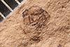 http://mczbase.mcz.harvard.edu/specimen_images/entomology/paleo/large/PALE-19_Trypanorhynchus_sedatus_type.jpg