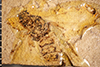 http://mczbase.mcz.harvard.edu/specimen_images/entomology/paleo/large/PALE-2021_Geotiphia_foxiana_holotype_1.jpg