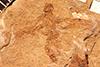 http://mczbase.mcz.harvard.edu/specimen_images/entomology/paleo/large/PALE-2035_Protostephanus_ashmeadi_holotype.jpg