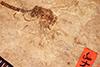 http://mczbase.mcz.harvard.edu/specimen_images/entomology/paleo/large/PALE-2048_Tenthredo_misera_holotype.jpg