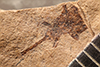 http://mczbase.mcz.harvard.edu/specimen_images/entomology/paleo/large/PALE-20540_Curculionoidea.jpg