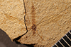 http://mczbase.mcz.harvard.edu/specimen_images/entomology/paleo/large/PALE-20543_Tipulomorpha.jpg