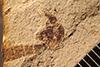 http://mczbase.mcz.harvard.edu/specimen_images/entomology/paleo/large/PALE-20544_Tipulomorpha.jpg