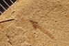 http://mczbase.mcz.harvard.edu/specimen_images/entomology/paleo/large/PALE-20549_Nematocera.jpg