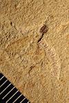 http://mczbase.mcz.harvard.edu/specimen_images/entomology/paleo/large/PALE-20558_Nematocera.jpg