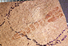 http://mczbase.mcz.harvard.edu/specimen_images/entomology/paleo/large/PALE-20582_Nematocera_pupa.jpg