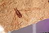 http://mczbase.mcz.harvard.edu/specimen_images/entomology/paleo/large/PALE-20619_Trichoptera.jpg