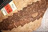 http://mczbase.mcz.harvard.edu/specimen_images/entomology/paleo/large/PALE-2064_Andricus_myricae_type.jpg