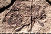 http://mczbase.mcz.harvard.edu/specimen_images/entomology/paleo/large/PALE-20670_Eudomus_robustus_1.jpg