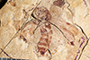 http://mczbase.mcz.harvard.edu/specimen_images/entomology/paleo/large/PALE-20704_Bibionidae.jpg