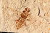 http://mczbase.mcz.harvard.edu/specimen_images/entomology/paleo/large/PALE-20725_Apocrita.jpg