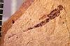http://mczbase.mcz.harvard.edu/specimen_images/entomology/paleo/large/PALE-2086_Ormyrodes_petrefactus_holotype.jpg