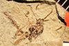 http://mczbase.mcz.harvard.edu/specimen_images/entomology/paleo/large/PALE-2130_Cryptus_delineatus_holotype.jpg