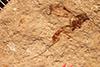 http://mczbase.mcz.harvard.edu/specimen_images/entomology/paleo/large/PALE-2131_Lampronota_pristina_holotype.jpg