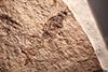 http://mczbase.mcz.harvard.edu/specimen_images/entomology/paleo/large/PALE-2158_Pimpla_revelata_holotype_1.jpg