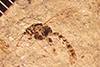 http://mczbase.mcz.harvard.edu/specimen_images/entomology/paleo/large/PALE-2162_Pimpla_sp.jpg