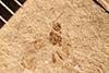 http://mczbase.mcz.harvard.edu/specimen_images/entomology/paleo/large/PALE-2163_Pimplinae.jpg