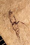 http://mczbase.mcz.harvard.edu/specimen_images/entomology/paleo/large/PALE-2206_Chalcis_tortilis.jpg