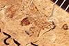 http://mczbase.mcz.harvard.edu/specimen_images/entomology/paleo/large/PALE-2228_Tryphoninae.jpg