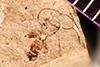 http://mczbase.mcz.harvard.edu/specimen_images/entomology/paleo/large/PALE-2236_Tryphon_cadaver_holotype.jpg
