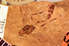 http://mczbase.mcz.harvard.edu/specimen_images/entomology/paleo/large/PALE-2252_Anomalon_confertum_type.jpg