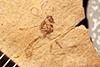 http://mczbase.mcz.harvard.edu/specimen_images/entomology/paleo/large/PALE-2272_Ichneumonidae.jpg
