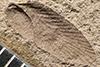 http://mczbase.mcz.harvard.edu/specimen_images/entomology/paleo/large/PALE-227b_Neorthroblattina_rotundata_type.jpg