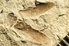 http://mczbase.mcz.harvard.edu/specimen_images/entomology/paleo/large/PALE-229_Scutinoblattina_brongniarti_syntype_1.jpg
