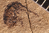 http://mczbase.mcz.harvard.edu/specimen_images/entomology/paleo/large/PALE-22_Docirhynchus_culex_type_1.jpg