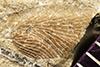 http://mczbase.mcz.harvard.edu/specimen_images/entomology/paleo/large/PALE-230_Neorthroblattina_alboliniata_syntype.jpg