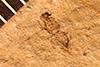 http://mczbase.mcz.harvard.edu/specimen_images/entomology/paleo/large/PALE-2343_Chelonus_depressus.jpg